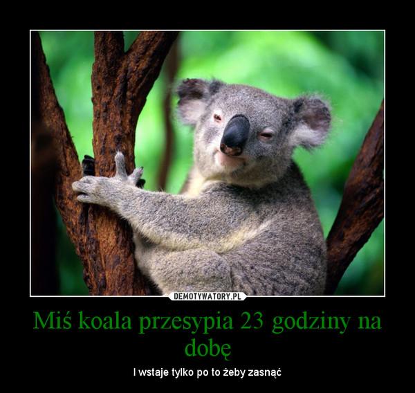 Miś koala przesypia 23 godziny na dobę – I wstaje tylko po to żeby zasnąć