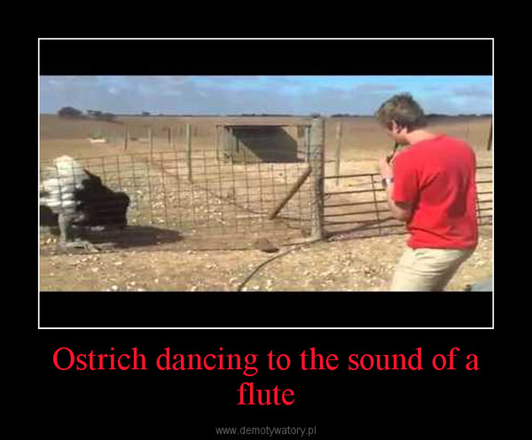 Ostrich dancing to the sound of a flute –