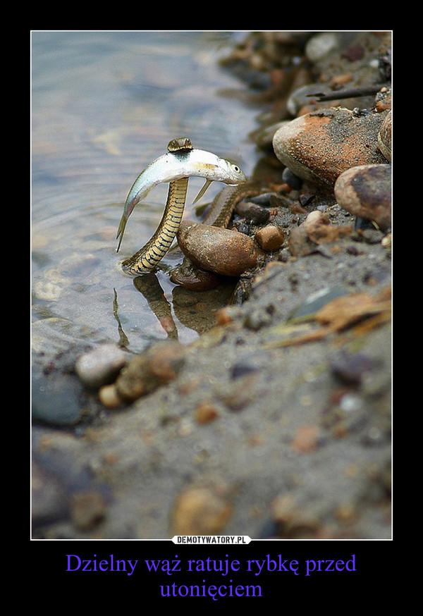 Dzielny wąż ratuje rybkę przed utonięciem –