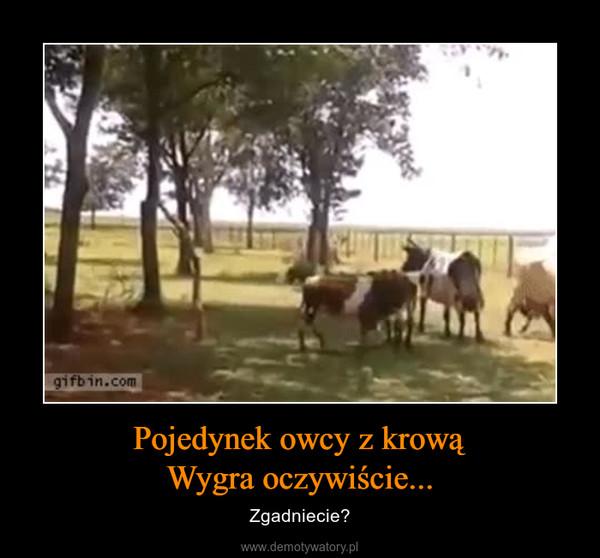 Pojedynek owcy z krowąWygra oczywiście... – Zgadniecie?