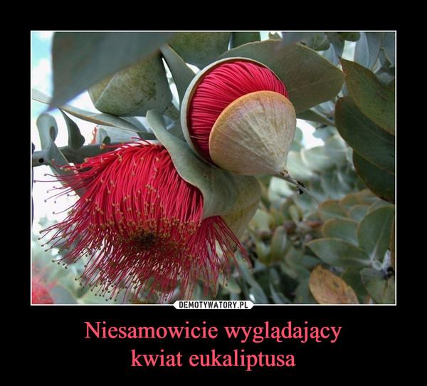 Niesamowicie wyglądającykwiat eukaliptusa –