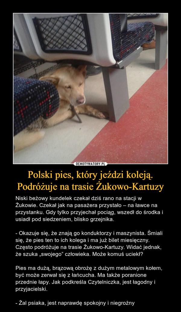 """Polski pies, który jeździ koleją. Podróżuje na trasie Żukowo-Kartuzy – Niski beżowy kundelek czekał dziś rano na stacji w Żukowie. Czekał jak na pasażera przystało – na ławce na przystanku. Gdy tylko przyjechał pociąg, wszedł do środka i usiadł pod siedzeniem, blisko grzejnika.- Okazuje się, że znają go konduktorzy i maszynista. Śmiali się, że pies ten to ich kolega i ma już bilet miesięczny. Często podróżuje na trasie Żukowo-Kartuzy. Widać jednak, że szuka """"swojego"""" człowieka. Może komuś uciekł?Pies ma dużą, brązową obrożę z dużym metalowym kołem, być może zerwał się z łańcucha. Ma także poranione przednie łapy. Jak podkreśla Czytelniczka, jest łagodny i przyjacielski.- Żal psiaka, jest naprawdę spokojny i niegroźny"""