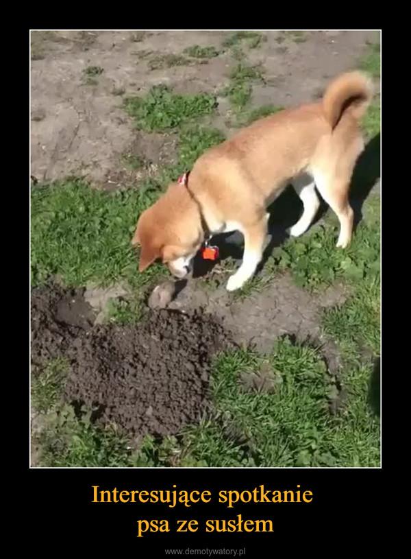 Interesujące spotkanie psa ze susłem –