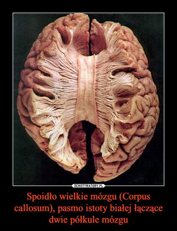 Spoidło wielkie mózgu (Corpus callosum), pasmo istoty białej łączące dwie półkule mózgu –