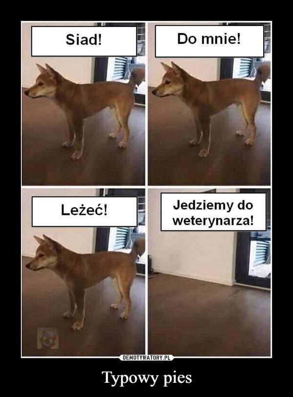 Typowy pies –  Siad! Do mnie! Leżeć! Jedziemy do weterynarza!