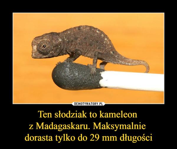 Ten słodziak to kameleon z Madagaskaru. Maksymalnie dorasta tylko do 29 mm długości –