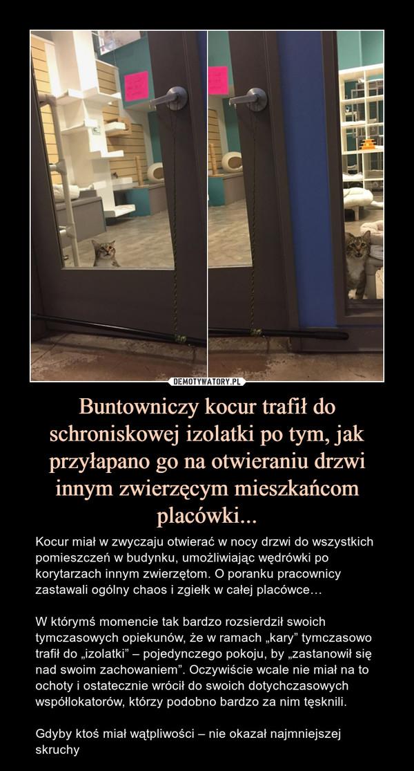 """Buntowniczy kocur trafił do schroniskowej izolatki po tym, jak przyłapano go na otwieraniu drzwi innym zwierzęcym mieszkańcom placówki... – Kocur miał w zwyczaju otwierać w nocy drzwi do wszystkich pomieszczeń w budynku, umożliwiając wędrówki po korytarzach innym zwierzętom. O poranku pracownicy zastawali ogólny chaos i zgiełk w całej placówce…W którymś momencie tak bardzo rozsierdził swoich tymczasowych opiekunów, że w ramach """"kary"""" tymczasowo trafił do """"izolatki"""" – pojedynczego pokoju, by """"zastanowił się nad swoim zachowaniem"""". Oczywiście wcale nie miał na to ochoty i ostatecznie wrócił do swoich dotychczasowych współlokatorów, którzy podobno bardzo za nim tęsknili.Gdyby ktoś miał wątpliwości – nie okazał najmniejszej skruchy"""