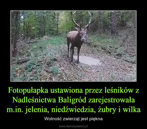 Fotopułapka ustawiona przez leśników z Nadleśnictwa Baligród zarejestrowała m.in. jelenia, niedźwiedzia, żubry i wilka – Wolność zwierząt jest piękna