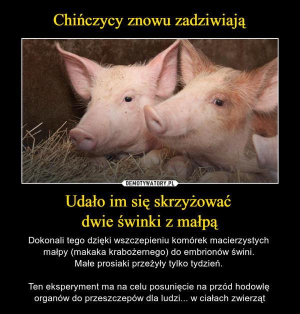 Udało im się skrzyżować dwie świnki z małpą – Dokonali tego dzięki wszczepieniu komórek macierzystych małpy (makaka krabożernego) do embrionów świni. Małe prosiaki przeżyły tylko tydzień. Ten eksperyment ma na celu posunięcie na przód hodowlę organów do przeszczepów dla ludzi... w ciałach zwierząt