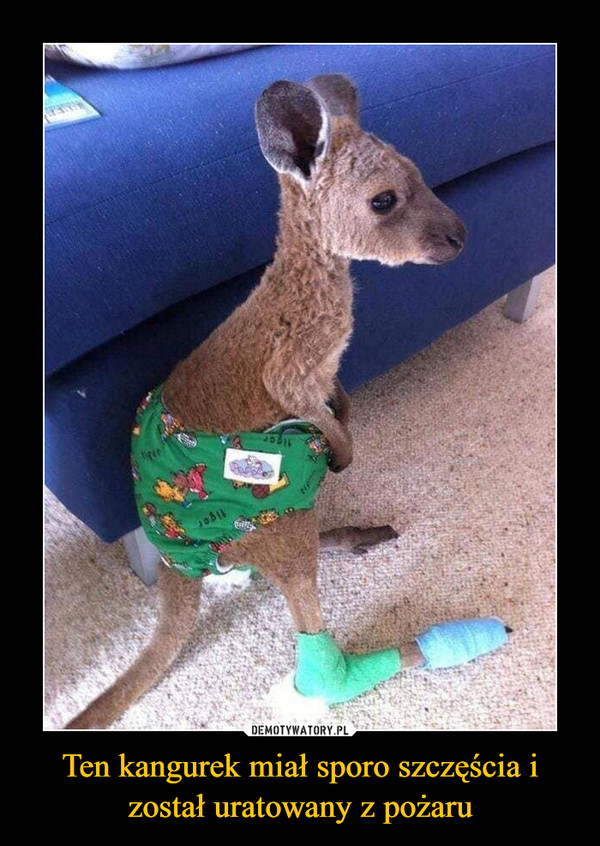 Ten kangurek miał sporo szczęścia i został uratowany z pożaru –