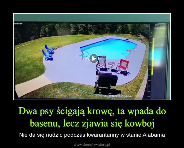 Dwa psy ścigają krowę, ta wpada do basenu, lecz zjawia się kowboj – Nie da się nudzić podczas kwarantanny w stanie Alabama