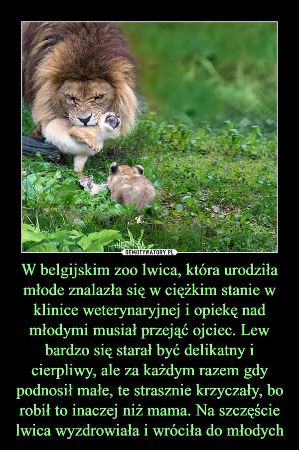 W belgijskim zoo lwica, która urodziła młode znalazła się w ciężkim stanie w klinice weterynaryjnej i opiekę nad młodymi musiał przejąć ojciec. Lew bardzo się starał być delikatny i cierpliwy, ale za każdym razem gdy podnosił małe, te strasznie krzyczały, bo robił to inaczej niż mama. Na szczęście lwica wyzdrowiała i wróciła do młodych –