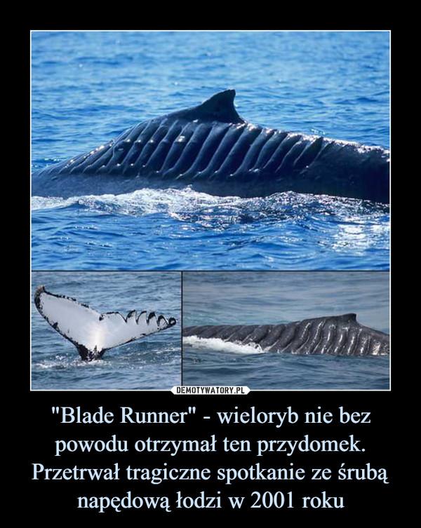 """""""Blade Runner"""" - wieloryb nie bez powodu otrzymał ten przydomek. Przetrwał tragiczne spotkanie ze śrubą napędową łodzi w 2001 roku –"""