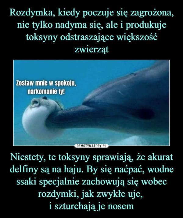 Niestety, te toksyny sprawiają, że akurat delfiny są na haju. By się naćpać, wodne ssaki specjalnie zachowują się wobec rozdymki, jak zwykłe uje, i szturchają je nosem –  Zostaw nie w spokoju narkomanie ty