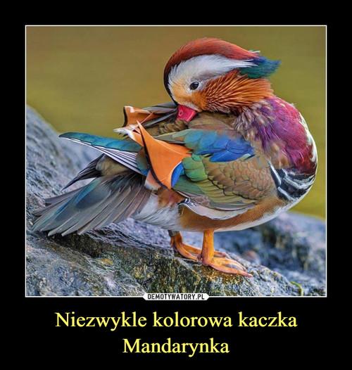 Niezwykle kolorowa kaczka Mandarynka