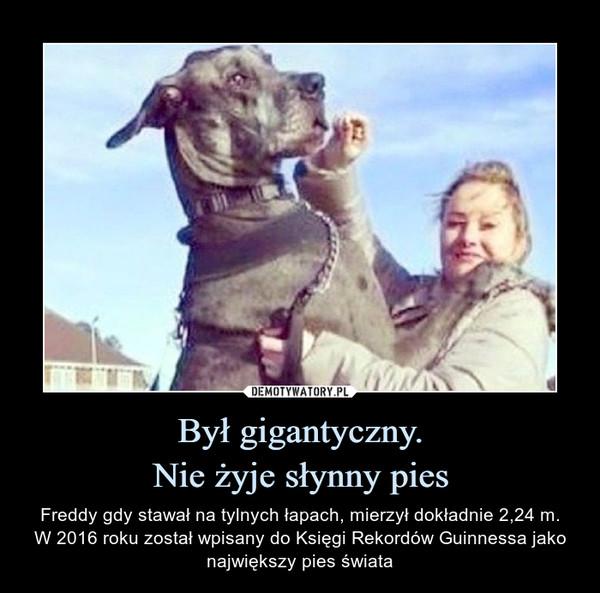 Był gigantyczny.Nie żyje słynny pies – Freddy gdy stawał na tylnych łapach, mierzył dokładnie 2,24 m.W 2016 roku został wpisany do Księgi Rekordów Guinnessa jako największy pies świata