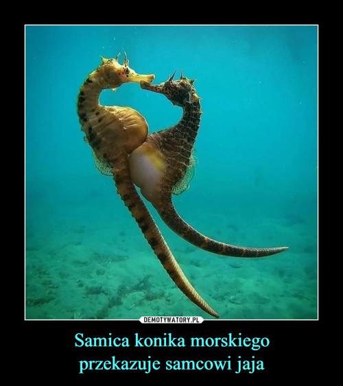Samica konika morskiego przekazuje samcowi jaja