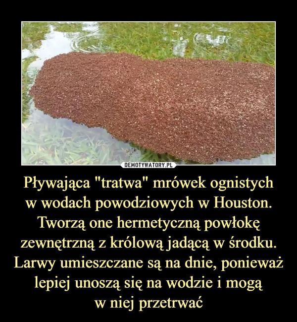 """Pływająca """"tratwa"""" mrówek ognistychw wodach powodziowych w Houston. Tworzą one hermetyczną powłokę zewnętrzną z królową jadącą w środku. Larwy umieszczane są na dnie, ponieważ lepiej unoszą się na wodzie i mogąw niej przetrwać –"""