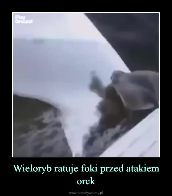 Wieloryb ratuje foki przed atakiem orek –