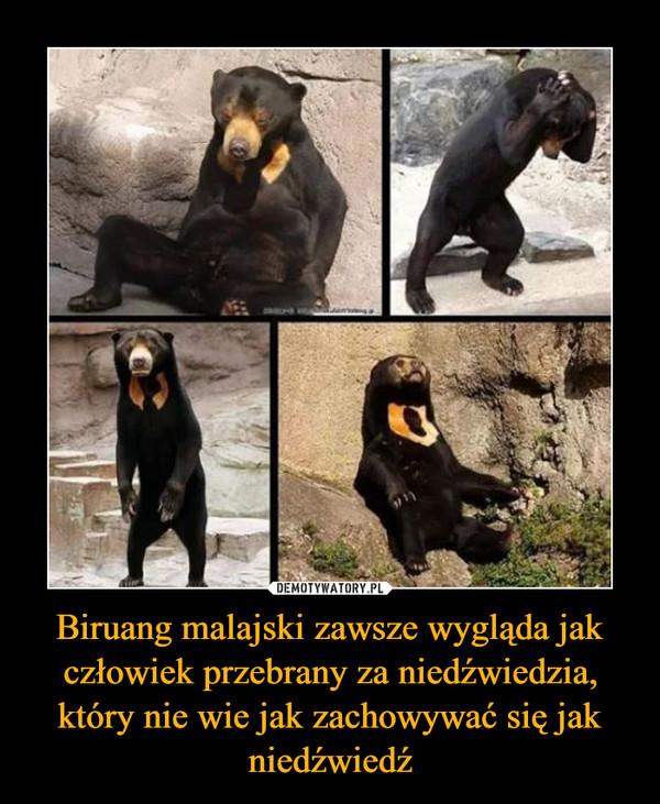 Biruang malajski zawsze wygląda jak człowiek przebrany za niedźwiedzia, który nie wie jak zachowywać się jak niedźwiedź –