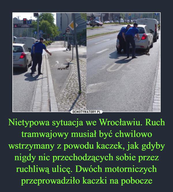 Nietypowa sytuacja we Wrocławiu. Ruch tramwajowy musiał być chwilowo wstrzymany z powodu kaczek, jak gdyby nigdy nic przechodzących sobie przez ruchliwą ulicę. Dwóch motorniczych przeprowadziło kaczki na pobocze –