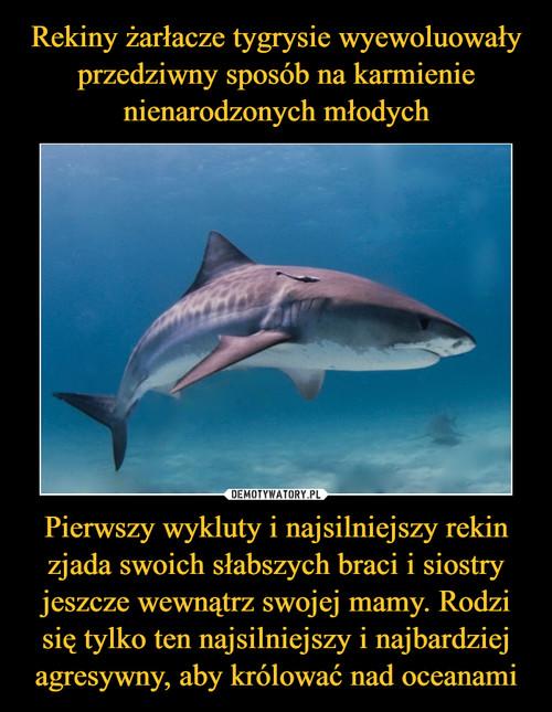 Rekiny żarłacze tygrysie wyewoluowały przedziwny sposób na karmienie nienarodzonych młodych Pierwszy wykluty i najsilniejszy rekin zjada swoich słabszych braci i siostry jeszcze wewnątrz swojej mamy. Rodzi się tylko ten najsilniejszy i najbardziej agresywny, aby królować nad oceanami