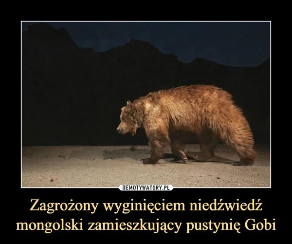 Zagrożony wyginięciem niedźwiedź mongolski zamieszkujący pustynię Gobi –