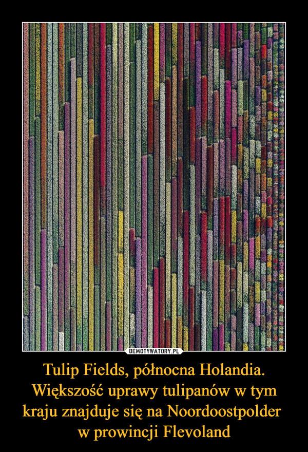 Tulip Fields, północna Holandia. Większość uprawy tulipanów w tym kraju znajduje się na Noordoostpolder w prowincji Flevoland –