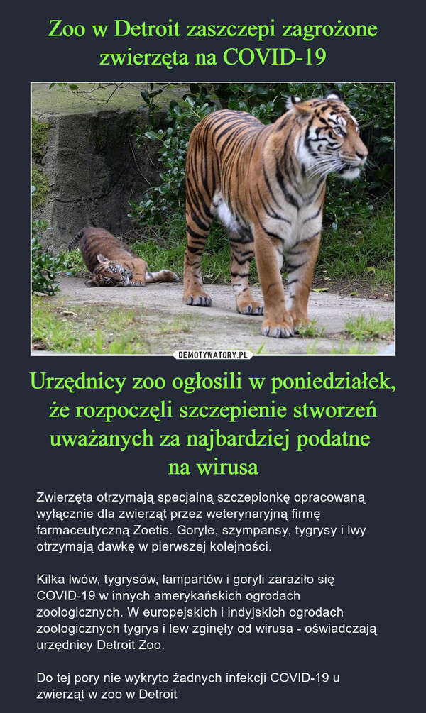 Urzędnicy zoo ogłosili w poniedziałek, że rozpoczęli szczepienie stworzeń uważanych za najbardziej podatne na wirusa – Zwierzęta otrzymają specjalną szczepionkę opracowaną wyłącznie dla zwierząt przez weterynaryjną firmę farmaceutyczną Zoetis. Goryle, szympansy, tygrysy i lwy otrzymają dawkę w pierwszej kolejności.Kilka lwów, tygrysów, lampartów i goryli zaraziło się COVID-19 w innych amerykańskich ogrodach zoologicznych. W europejskich i indyjskich ogrodach zoologicznych tygrys i lew zginęły od wirusa - oświadczają urzędnicy Detroit Zoo.Do tej pory nie wykryto żadnych infekcji COVID-19 u zwierząt w zoo w Detroit