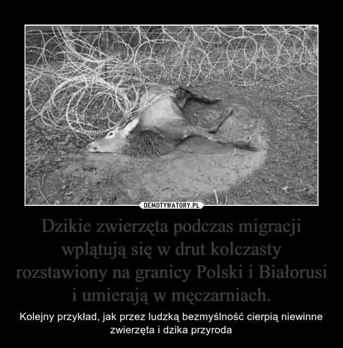 Dzikie zwierzęta podczas migracji wplątują się w drut kolczasty rozstawiony na granicy Polski i Białorusi i umierają w męczarniach.