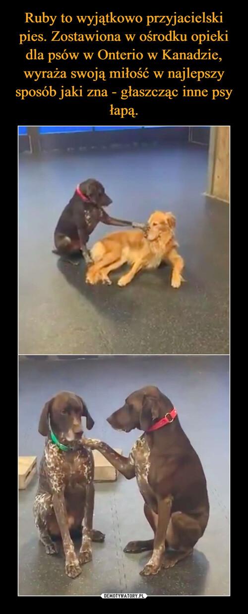 Ruby to wyjątkowo przyjacielski pies. Zostawiona w ośrodku opieki dla psów w Onterio w Kanadzie, wyraża swoją miłość w najlepszy sposób jaki zna - głaszcząc inne psy łapą.