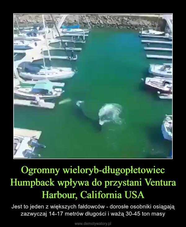 Ogromny wieloryb-długopłetowiec Humpback wpływa do przystani Ventura Harbour, California USA – Jest to jeden z większych fałdowców - dorosłe osobniki osiągają zazwyczaj 14-17 metrów długości i ważą 30-45 ton masy
